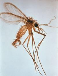 Phlébotome femelle, Vecteur des Leishmanies